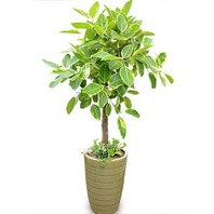 뱅갈고무나무(특상)VVIP