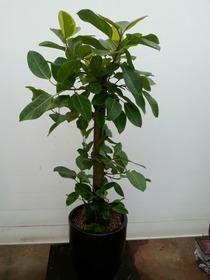 뱅갈고무나무/ABC